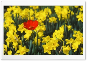 Daffodils And Red Tulip