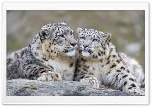 Snow Leopards Affection