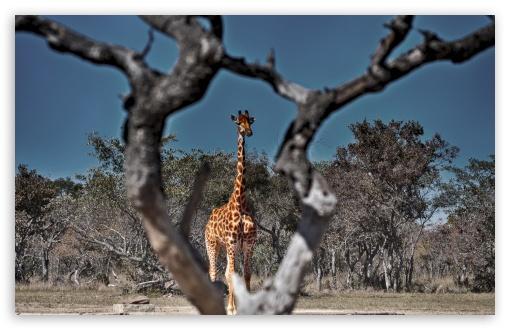 Download Framed Giraffe UltraHD Wallpaper