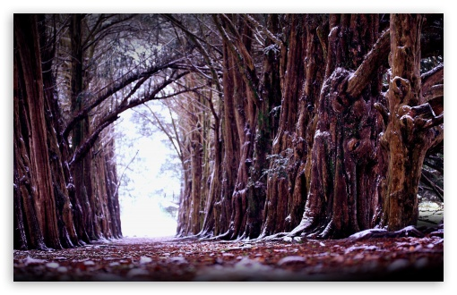 Download Old Trees Alignment UltraHD Wallpaper
