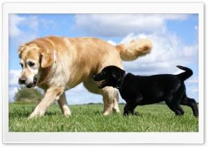 Golden and Labrador Retriever