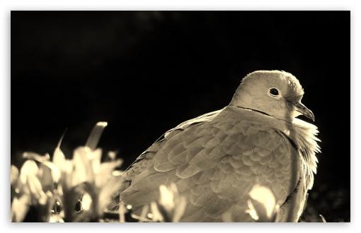 Download Pigeon UltraHD Wallpaper