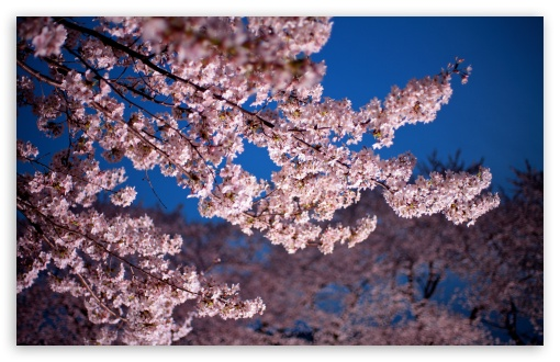 Download Cherry Blossom Trees UltraHD Wallpaper