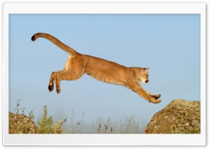 Leaping Cougar Montana