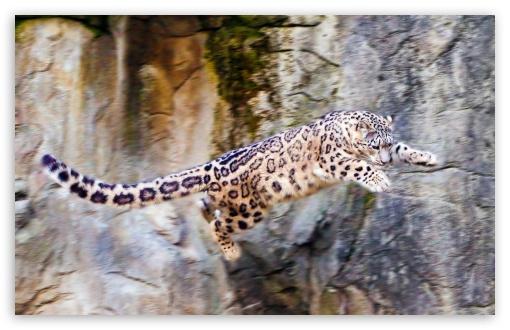 Download Snow Leopard Flying UltraHD Wallpaper