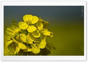 Yellow Mustard Flowers