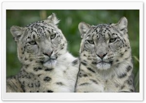 Two Snow Leopard