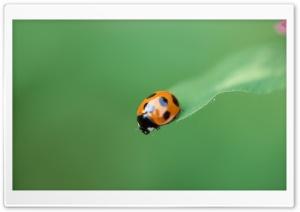 Ladybug On A Leaf