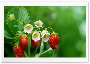 Strawberry Plant with Flowers...