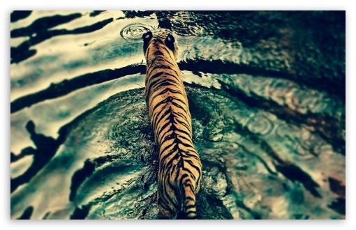Download Tiger In Water UltraHD Wallpaper