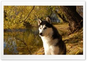 Attentive Husky