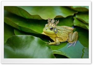 Kiss The Frog Prince