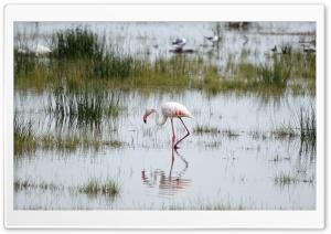 Flamingo, Kenya