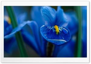 Blue Iris Flower Macro