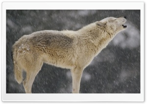 Female Timber Wolf Howling...