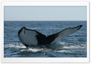 Brier Island Whale