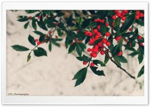 Berries, Winter