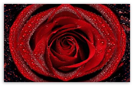 Download Dew On Red Rose UltraHD Wallpaper