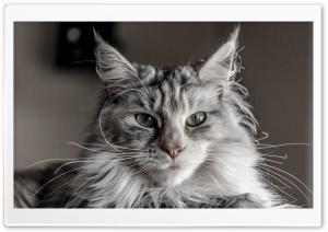 Ziva Maine Coon Cat