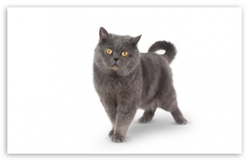 Download Grey Shorthair Cat UltraHD Wallpaper