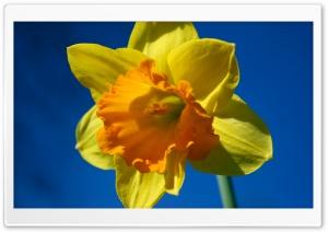 Daffodil Flower Against Blue Sky
