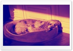Sleeping Dog - Amber