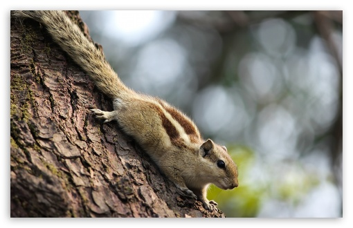 Download Indian Squirrel UltraHD Wallpaper