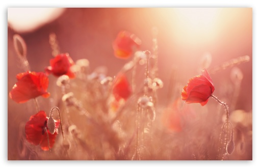 Download Late Summer Poppies UltraHD Wallpaper