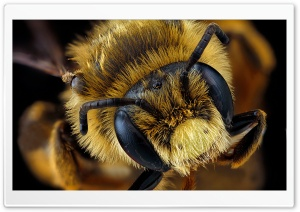 Andrena Rudbeckiae Bee Macro...