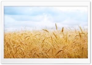 Wheat Yield