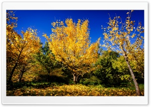 Chinese Ginkgo Trees Fall