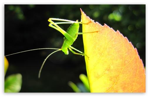 Download A Small Green Grasshopper UltraHD Wallpaper