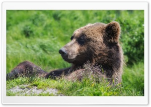 Grizzly Bear Sunning Himself