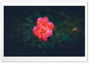 Pink Rose Capture