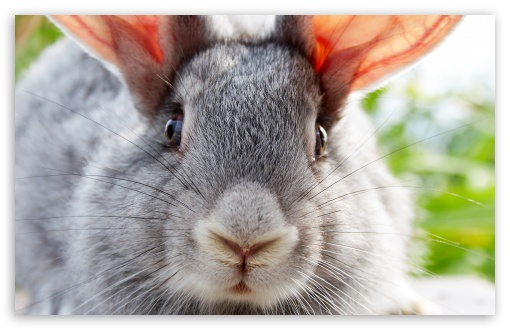 Download Funny Bunny UltraHD Wallpaper