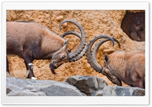 Two Male Ibexes Fighting