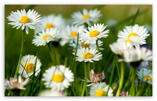 Download Spring Daisies UltraHD Wallpaper