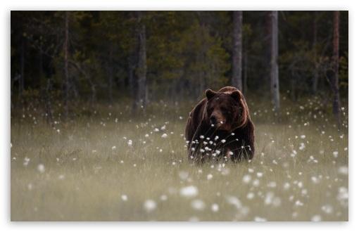 Download Forest Bear UltraHD Wallpaper