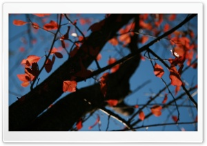 Tree With Red Leaves, Autumn
