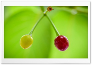 Ripe and Unripe Cherries
