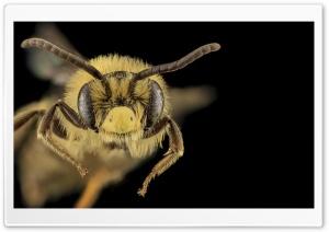 Mining Bee Macro, Andrena...