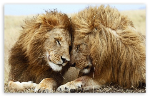 Download Two Male Lions UltraHD Wallpaper