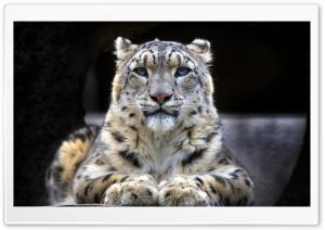 Snow Leopard Sitting On A Rock