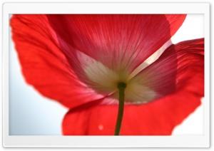 Red Poppy Petals