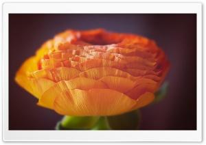 Orange Persian Buttercup