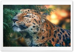 Cute Amur Leopard