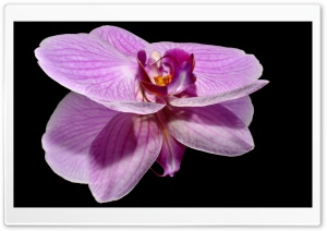 Purple Orchid Flower Reflection