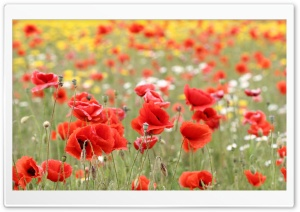 Poppies In Nature