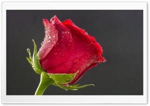 Beautiful Red Rose, Drops of...