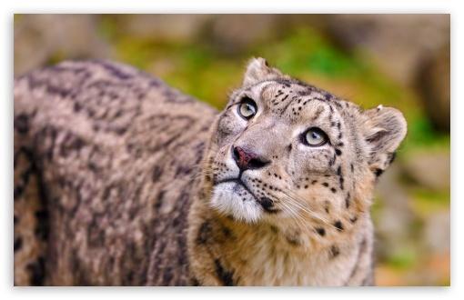 Download Snow Leopard Looking Up UltraHD Wallpaper